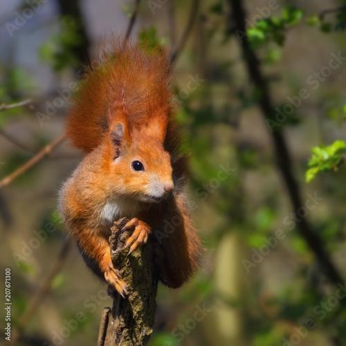 Foto op Canvas Eekhoorn Rotes Eichhörnchen posiert lässig auf einem Holzpfahl