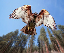 Beautiful Red Tailed Hawk Scre...