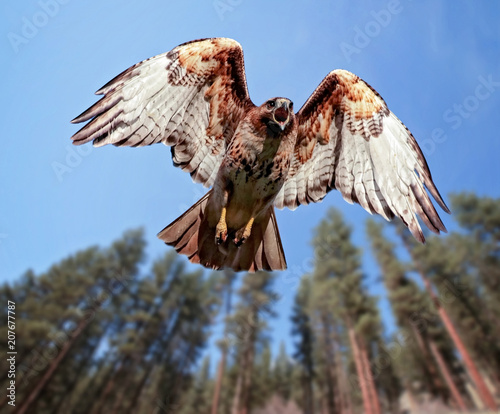 Photo beautiful red tailed hawk screeching while flying overhead