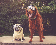 An Adorable Golden Retriever And Pug Sitting In A Park With Aviator Goggles On Toned With A Vintage Retro Instagram Filter