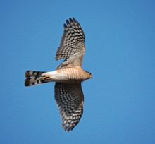 Beautiful Coopers Or Sharp Shinned Hawk Flying Above