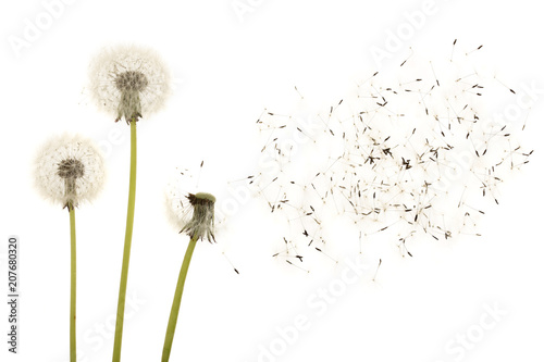 Poster de jardin Pissenlit Old dandelion isolated on white background closeup