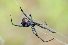 Female Black Widow Weaving Her...