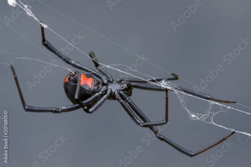 Canvas Print Female Black Widow Spider