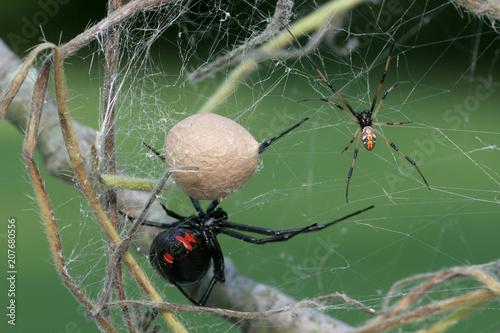 Photo Black Widow Spider Family - Female, Male, Egg sac