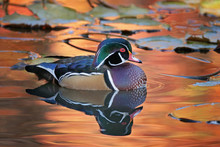 Beautiful And Colorful Wood Duck In A Natural Setting Environment