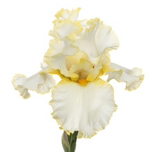 Yellow Flower Of Iris, Isolated On White Background