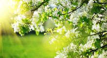 Spring Blossom Background. Nat...