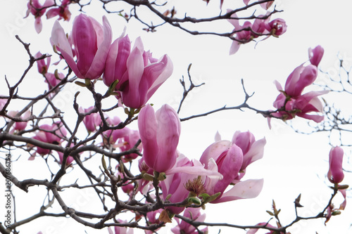 Foto op Plexiglas Magnolia Magnolia flowers and buds on beautiful background