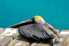 Colorful Pelican Resting On A Deck In Curacao