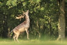 Male Fallow Deer Dama Dama Sta...