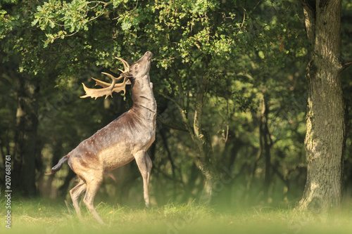 Photo  Male fallow deer Dama Dama stand up straight on hind legs.