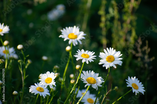 Foto op Canvas Madeliefjes Daisies