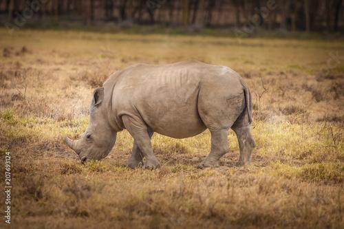 Fotobehang Neushoorn Kenya Africa. Rhinoceros eating grass African rhinoceroses. Safa