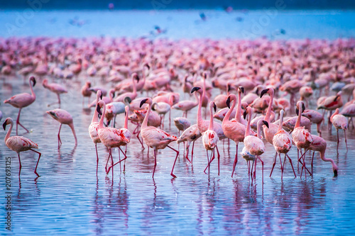 Kenya Africa. Flock of flamingos. African flamingos. Safari in Kenya. Pink birds.