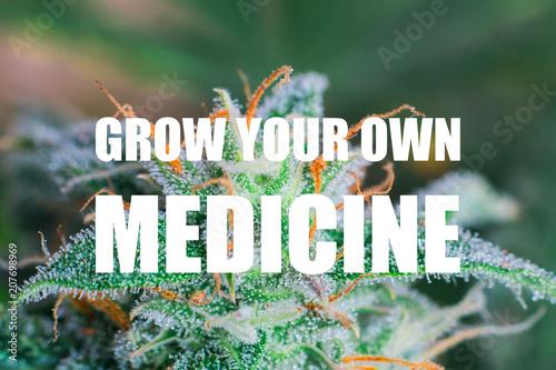 Macro shots of freshly cut medical marijuana flowers at an indoor grow operation. grow your own medicine text