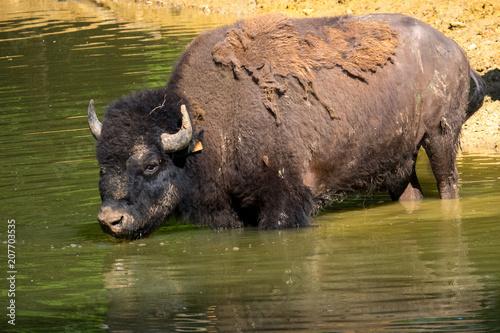 Tuinposter Buffel Bison