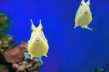 Cute Longhorn Cowfish Ridiculous Exotic Coral Fish. Yellow Tropical Funny Fish On Blue Background.
