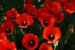 tulip red flower nature garden