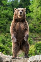 Big Brown Bear Standing On His...