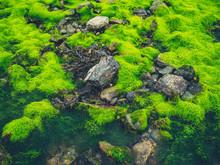 Green Seaweed And Algae On Rocks