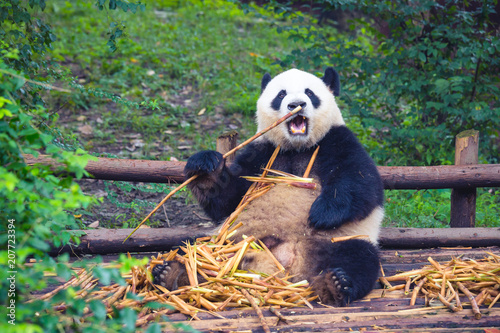 Fotobehang Panda Giant Panda eating bamboo lying down on wood in Chengdu during day , Sichuan Province, China