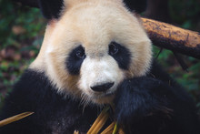 One Adult Giant Panda Eating A Bamboo Stick In Close Up Portrait During Day