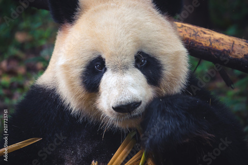 Fotografija  One adult giant panda eating a bamboo stick in close up portrait during day