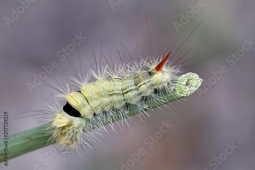 Fotografía  Pale tussock moth caterpillar, Calliteara pudibunda