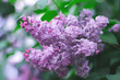 a blossoming bush of lilac. natural background