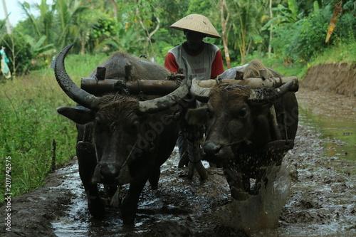 Foto op Plexiglas Buffel Farmers plows rice fields. Indonesian culture traditional plowing with buffalo.