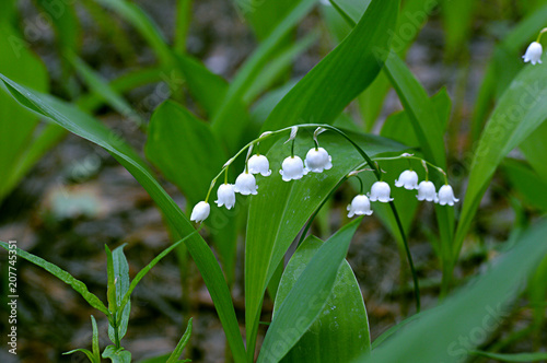 In de dag Lelietje van dalen Lily of the valley blooming in the forest