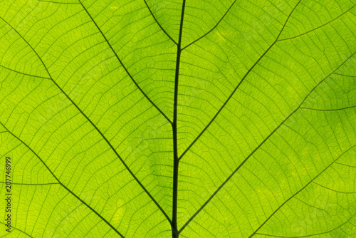 Fototapeta Closeup nature green leaf texture for abstract background obraz na płótnie