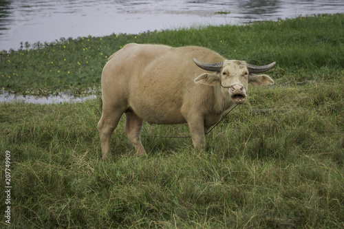 In de dag Buffel Albino buffalo with light fur and pink eyes domesticated in Asia