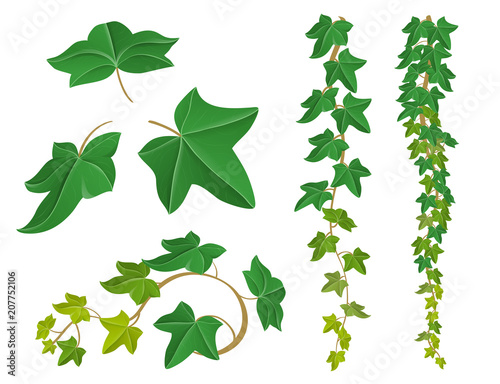 Ivy plant set with leaf and border. Vector illustration isolated on white for frame design
