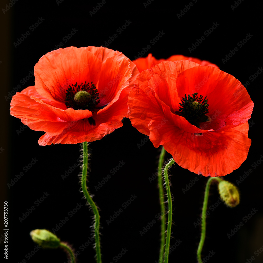 Fototapety, obrazy: Poppies on black