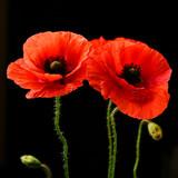 Fototapeta Papavers - Poppies on black