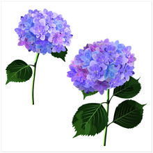 Vector Set Of Hydrangea Flower...