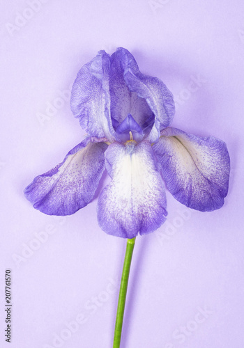 Foto op Plexiglas Iris Purple iris flower on purple background. Top view. Flat lay.