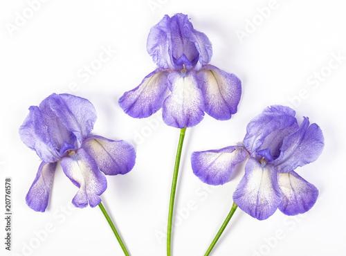 Spoed Foto op Canvas Iris Three purple irises on white background. Top view. Flat lay.