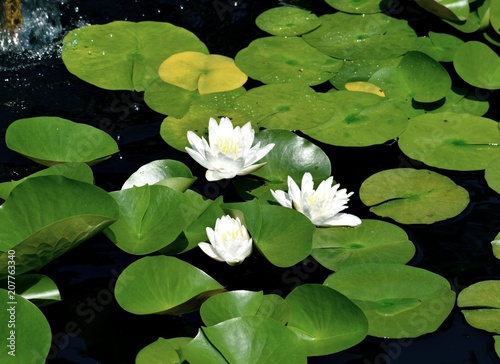Poster Waterlelies White water lilies background