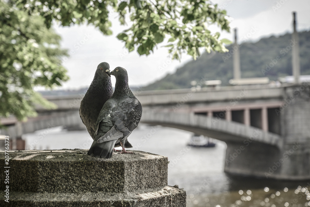A couple of doves on Prague embankment