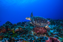 Underwater View Of Hawksbill T...
