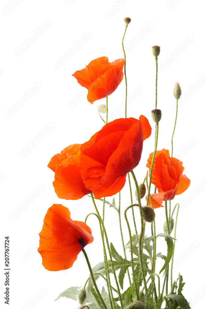Red poppy flowers bouquet isolated on white.