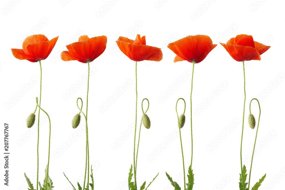 Red poppy flower isolated on white.