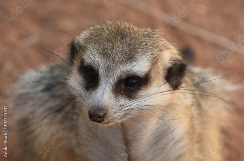 Photo  Gorgeous Face of a Meerkat with Long Whiskers
