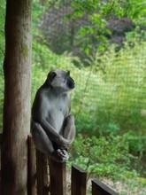Der Nachdenkliche Affe