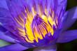 Leinwandbild Motiv Close-up of a beautiful lotus flower on the pond at sunny day.