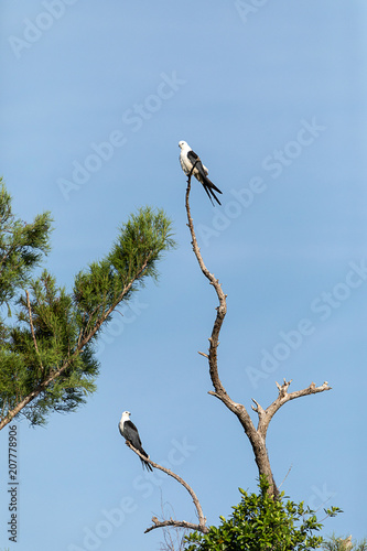Fotografia, Obraz  Pair of swallow-tailed kite Elanoides forficatus perch on a dead tree