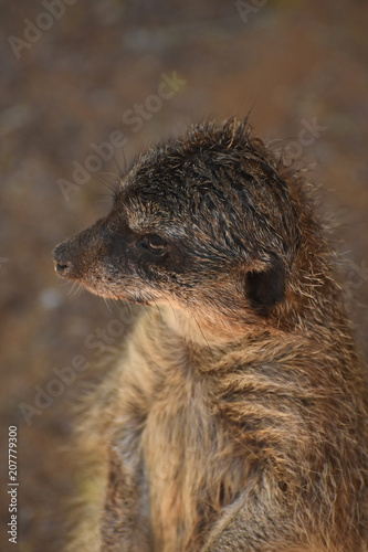Fotografie, Obraz  Beautiful Look into the Face of a Meerkat